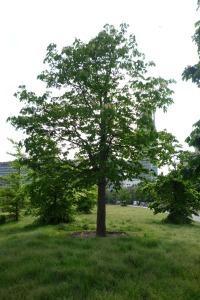 Deze kastanje op de Koekamp is geplant op 20 maart 1990 als elfde van een serie. De Bomenstichting bestond dat jaar 20 jaar en vierde dat onder meer met het schenken van 12 bomen aan de Nederlandse Spoorwegen. Aanvankelijk stond de boom op het stationsplein, maar hij is verplant vanwege de bouwwerkzaamheden aldaar.