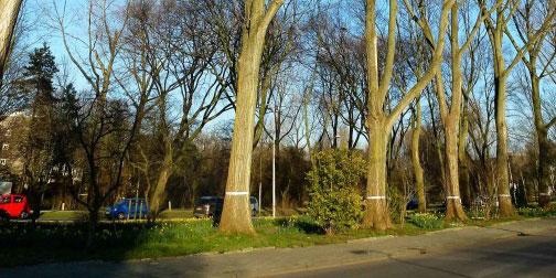 Populieren: de Bomenstichting Den Haag tekent hoger beroep aan tegen de uitspraak van de rechter
