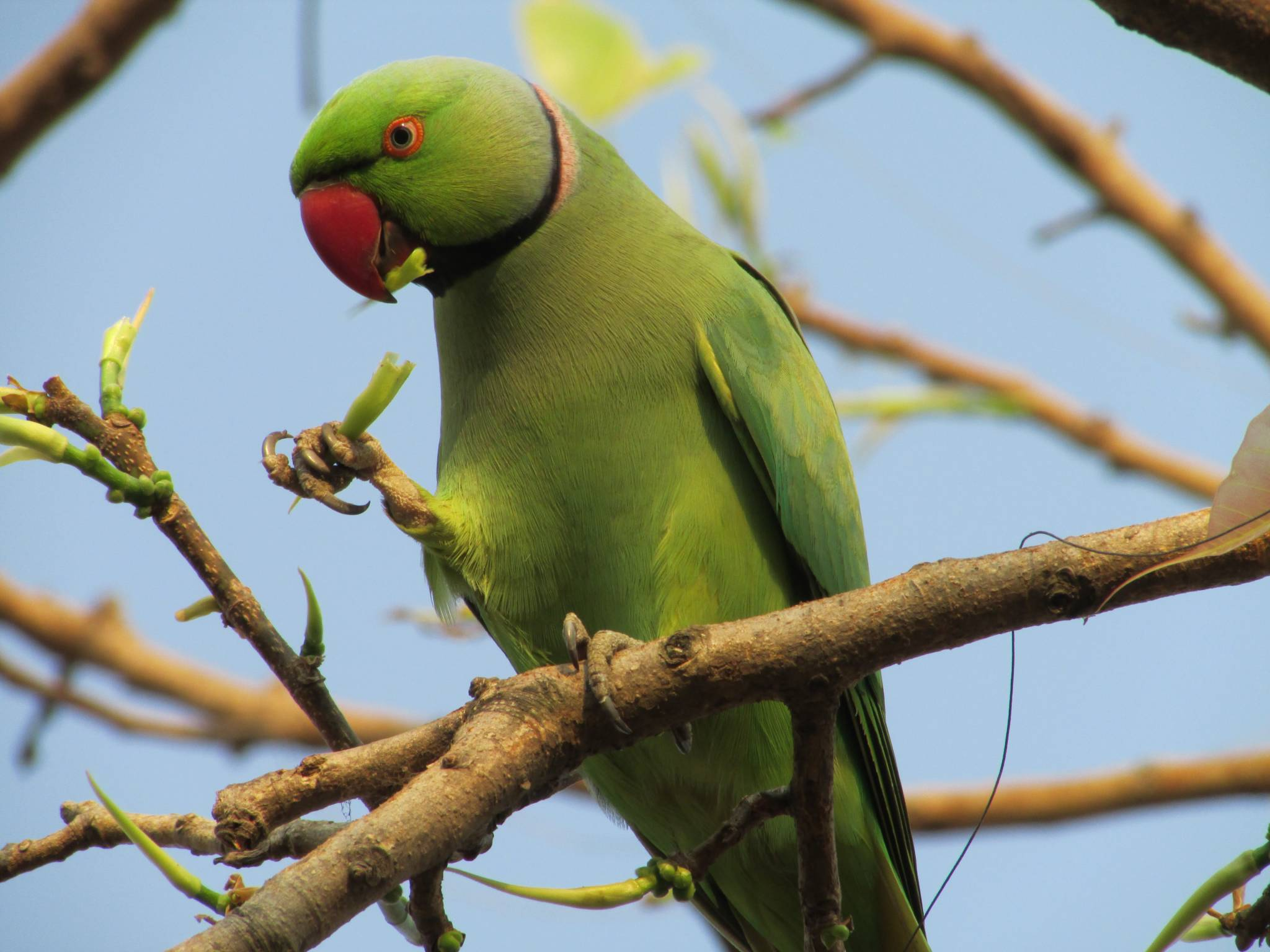 rose-ringed_parakeet_eating_leaves