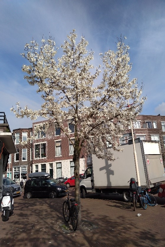 herman-magnolia